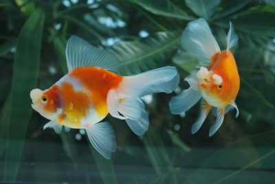 Goldfish Gallery displaying beautiful Show Quality Goldfish bred by
